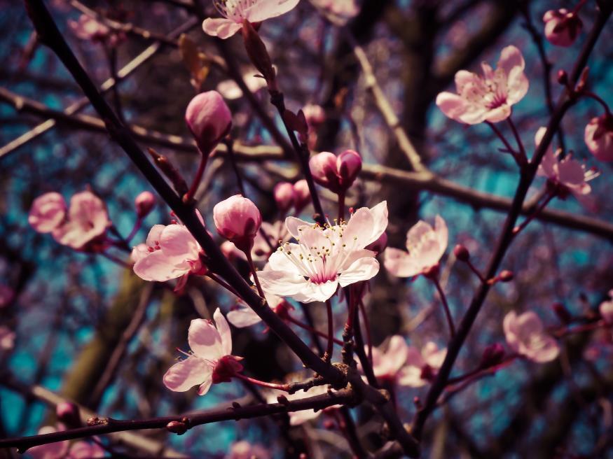 Motiv 039 - Mandelblüten